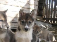 продам щенков западносибирских лаек