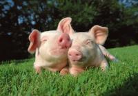 свежее мясо свинины