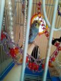 Волнистый папугай