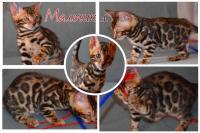Бенгальские котята 2 мес