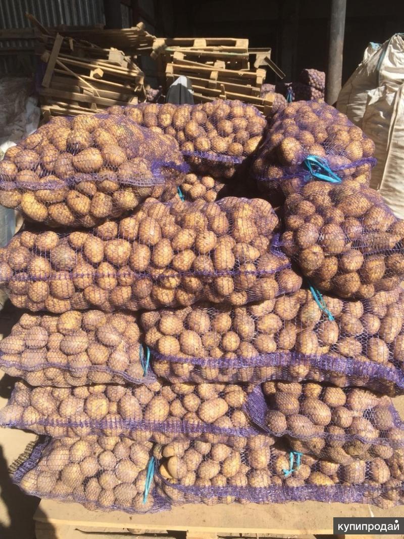 свежевыкопанный картофель гала фото может человек быть